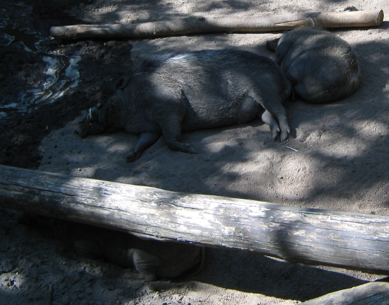 Sleepy wild pigs