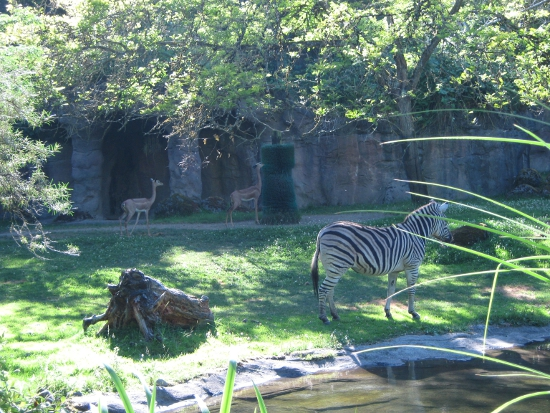 Zebra & gazelles